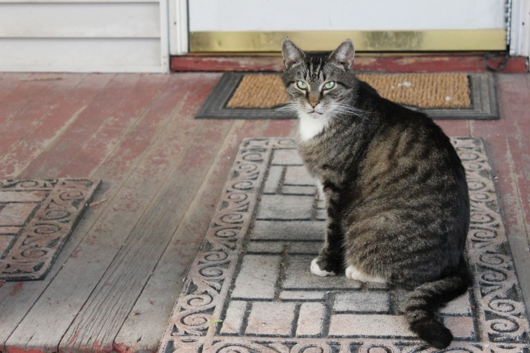 stray, cats, kitten, cat, kitty, Burlington, Old North End, neighborhood, grumpy cat