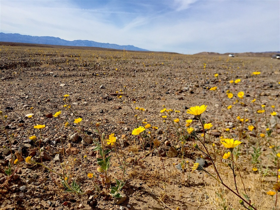 Death Valley Super Bloom Desert Gold
