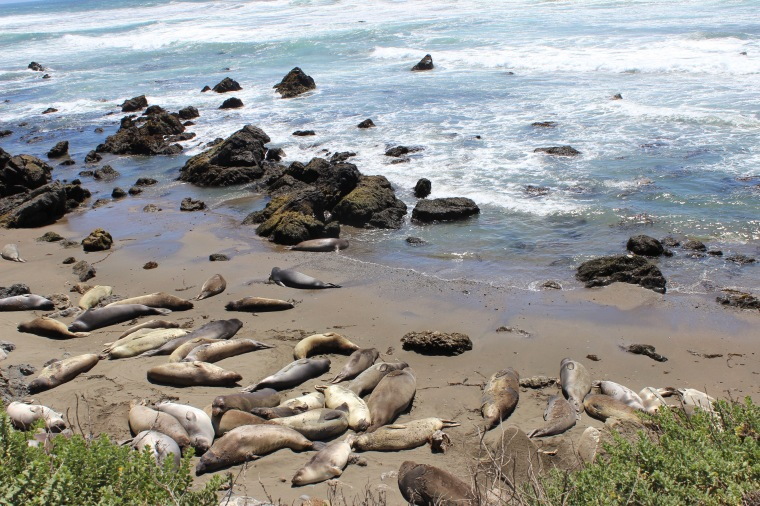 Elephant Seals in Piedras Blancas off the Pacific Coast Highway