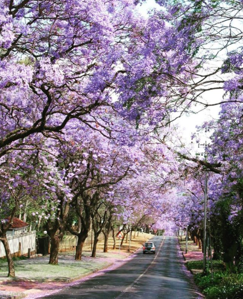 Jacaranda Trees Johannesburg South Africa Pretoria